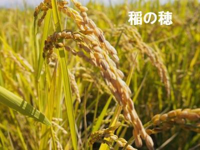 稲の穂.jpg