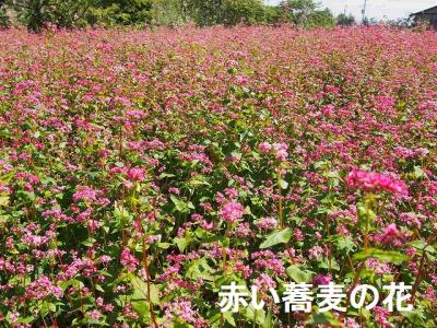 赤い蕎麦の花 (1).jpg